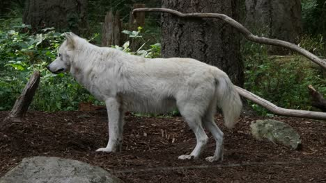 White-Wolf-Stands-In-The-Woods